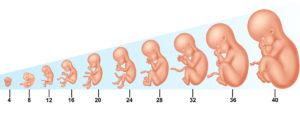 header dezvoltarea intrauterina a fatului erna stoian